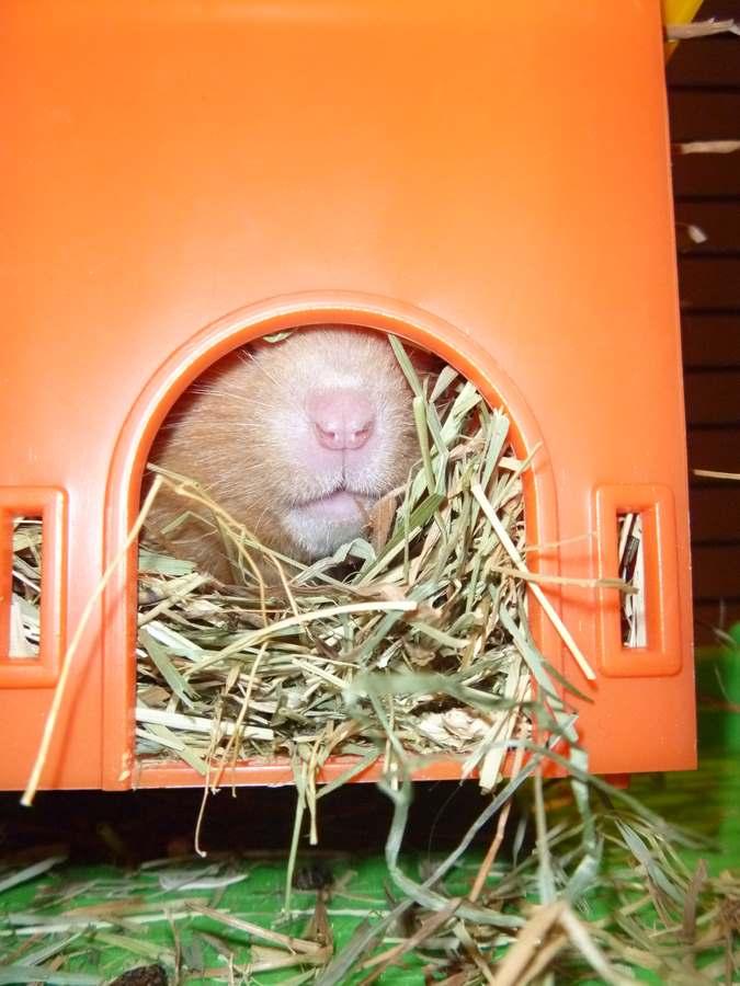 Hamster in huisje (Kopie)