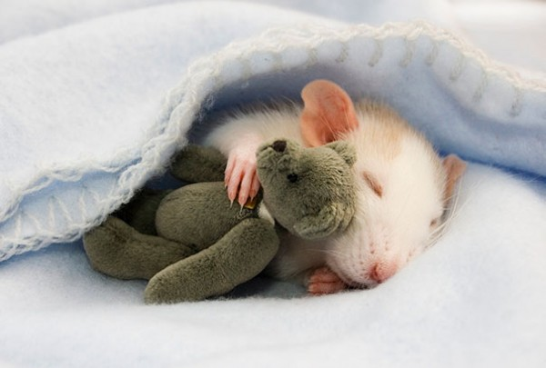 Rats-with-Teddy-Bears-1-600x405
