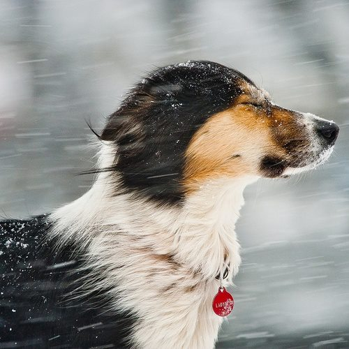 Snow In Face Dog