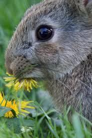 konijn eet paardenbloem