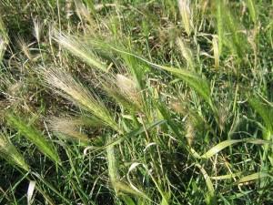 grasaar-plant